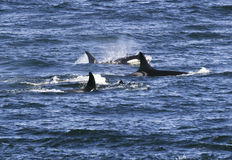 Pod Of Killer Whales. A small pod of four orca whales are surfacing in the waters of Puget Sound near San Juan Island royalty free stock images