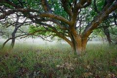 Pod koroną ampuły pojedynczy osamotniony drzewo w rezerwacie przyrody przeciw tłu mgła Obraz Royalty Free