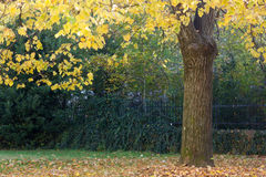 Pod Lipowym drzewem w jesieni Zdjęcia Royalty Free