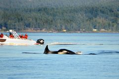 Pod of Orca Killer whale swimming, with whale watching boat in the background, Victoria, Canada. Sunny Day stock photos