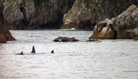 Pod Orca Whales North Pacific Ocean Sea Life Marine Mammal Royalty Free Stock Photos