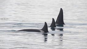 Pod of Orcas, Iceland royalty free stock images