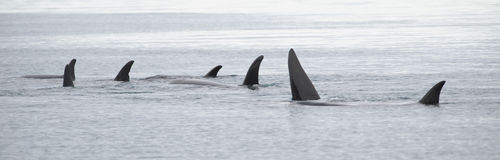 Pod of Orcas, Iceland stock images