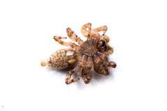 Pod pająkiem na bielu Zdjęcia Stock