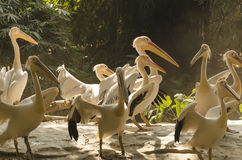 Pod of pelicans palying in the sunshine Stock Photo