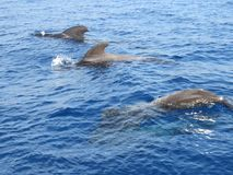 Pilot whales royalty free stock images
