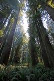 Pod redwood drzewami w Redwood Natianol parku, Kalifornia, usa, plecy lekka fotografia Zdjęcie Stock