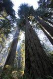 Pod redwood drzewami w Redwood Natianol parku, Kalifornia, usa, plecy lekka fotografia Zdjęcie Royalty Free