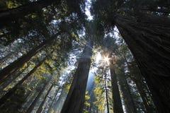 Pod redwood drzewami w Redwood Natianol parku, Kalifornia, usa, plecy lekka fotografia Fotografia Stock
