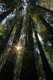 Pod redwood drzewami w Redwood Natianol parku, Kalifornia, usa, plecy lekka fotografia Zdjęcia Royalty Free
