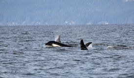Pod of Resident Orca`s of the coast near Sechelt, BC. Resident pod of Orca`s aka Killer Whales, of the coast of British Columbia Canada, near the down of stock photo