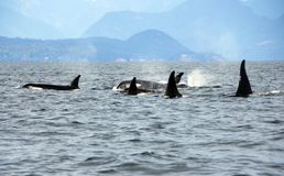 Pod of 5 Resident Orca`s of the coast near Sechelt, BC. Resident pod of Orca`s aka Killer Whales, of the coast of British Columbia Canada, near the down of stock image