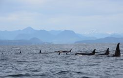 Pod of Resident Orcas of the coast near Sechelt, BC royalty free stock images