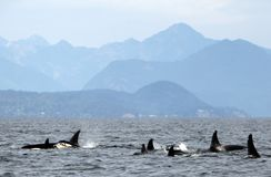 Pod of 9 Resident Orcas of the coast near Sechelt, BC. Resident pod of Orca`s aka Killer Whales, of the coast of British Columbia Canada, near the down of royalty free stock image