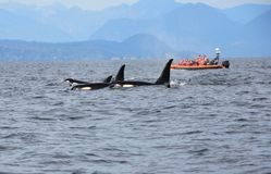 Pod of Resident Orcas of the coast near Sechelt, BC royalty free stock photos