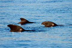 A pod of short-finned pilot whale Stock Photo