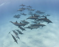 Pod of spinner dolphins in a sandy lagoon. Large pod of wild spinner dolphins swimming underwater in a sandy lagoon Stock Image