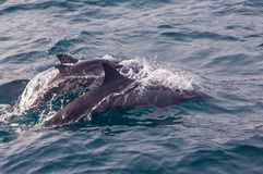 Pod of striped dolphins Azores Stock Photo