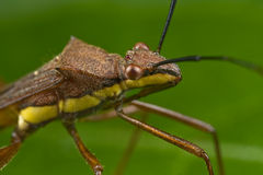 A pod sucking bug up close Royalty Free Stock Photos