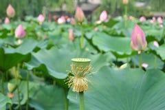 Pod tłem lotosowi kwiaty Obraz Stock