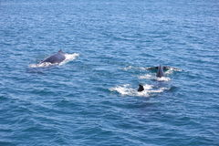 Pod of Whales Hervey Bay Stock Image