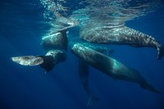 Pod of whales traveling underwater near water surface on blue aquatic background. Sperm whales underwater traveling near water surface on blue aquatic background stock photo