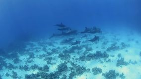 Pod of wild bottlenose dolphins stock video footage