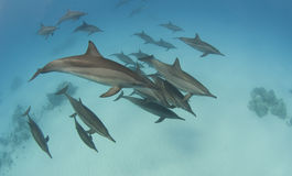 Pod of wild spinner dolphins. Swimming underwater in a sandy lagoon Royalty Free Stock Photos