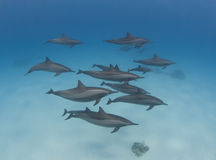 Pod of wild spinner dolphins. Swimming underwater in a sandy lagoon Royalty Free Stock Photo