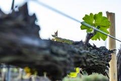 Poda da árvore da uva Podado e aparado para que o crescimento colha imagens de stock royalty free