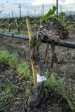 Poda da árvore da uva Podado e aparado para que o crescimento colha a vista no vinhedo desencapado do inverno após a poda imagens de stock