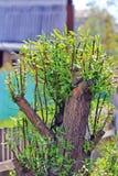 Poda das árvores Fotos de Stock Royalty Free