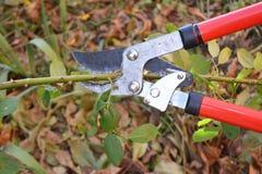 Poda de Rosa Jardineiro Prune Climbing Roses Como a Prune Roses Bush em seu jardim fotos de stock royalty free
