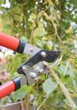 Poda de Rosa Jardineiro Prune Roses Bush no jardim fotos de stock