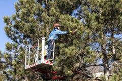 Poda del árbol de un hombre con una motosierra, colocándose en una plataforma mecánica, en mucha altitud entre las ramas de pinos foto de archivo