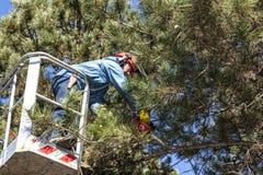 Poda del árbol de un hombre con una motosierra, colocándose en una plataforma mecánica, en mucha altitud entre las ramas de pinos Fotos de archivo libres de regalías
