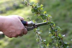 Poda do arbusto com os secateurs no jardim Imagem de Stock Royalty Free