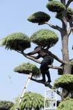 Poda profesional japonesa del jardinero un cedro Fotos de archivo