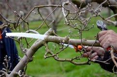 Poda un manzano con la sierra de la poda Fotos de archivo libres de regalías