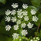 Podagraria Aegopodium, ζιζάνιο επισκόπων ` s, μακρο, εκλεκτική εστίαση λουλουδιών Στοκ φωτογραφίες με δικαίωμα ελεύθερης χρήσης