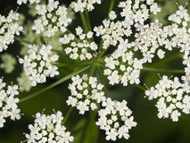 Podagraria Aegopodium, ζιζάνιο επισκόπων ` s, μακρο, εκλεκτική εστίαση λουλουδιών Στοκ φωτογραφία με δικαίωμα ελεύθερης χρήσης