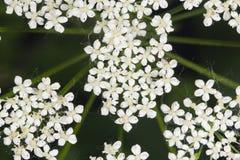 Podagraria Aegopodium, ζιζάνιο επισκόπων ` s, μακρο, εκλεκτική εστίαση λουλουδιών Στοκ Φωτογραφία