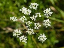 Podagraria Aegopodium, ζιζάνιο επισκόπων ` s, λουλούδι μακρο, ρηχό DOF, εκλεκτική εστίαση Στοκ εικόνες με δικαίωμα ελεύθερης χρήσης