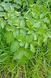 Podagraria Aegopodium, το έδαφος παλαιότερο, από την οικογένεια Apiaceae Στοκ φωτογραφία με δικαίωμα ελεύθερης χρήσης