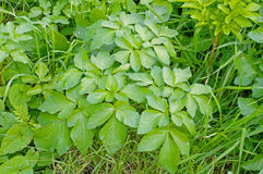 Podagraria Aegopodium, το έδαφος παλαιότερο, από την οικογένεια Apiaceae Στοκ εικόνες με δικαίωμα ελεύθερης χρήσης