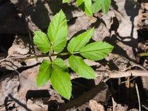 Podagraria Aegopodium, засоритель ` s епископа, малый макрос листьев, селективный фокус, отмелый DOF стоковое фото