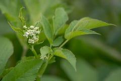 podagraria Aegopodium Земл-старейшины приходя в цветок стоковое фото