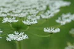 podagraria aegopodium Στοκ φωτογραφία με δικαίωμα ελεύθερης χρήσης