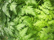 Podagraria Aegopodium Στοκ εικόνες με δικαίωμα ελεύθερης χρήσης