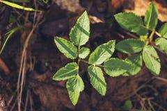 Podagraria Aegopodium Στοκ Εικόνες